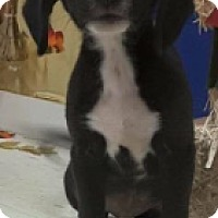Adopt A Pet :: Border Collie/ Lab X Pup - Pompton Lakes, NJ