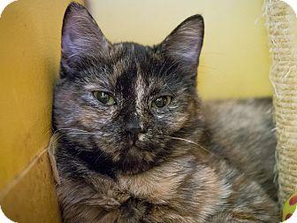 Domestic Mediumhair Kitten for adoption in Los Angeles, California - Giraffe