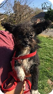 Terrier (Unknown Type, Medium)/Poodle (Miniature) Mix Dog for adoption in Troy, Illinois - Halo