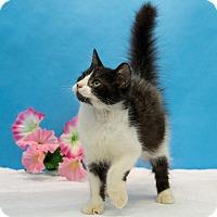 Domestic Mediumhair Kitten for adoption in Houston, Texas - Taquito