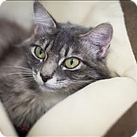 Domestic Mediumhair Cat for adoption in Napa, California - Lizzie (at Pet Food Express)