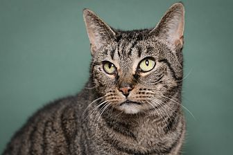 Domestic Shorthair Cat for adoption in Whitehall, Pennsylvania - Brooklyn