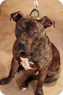 Staffordshire Bull Terrier Mix Dog for adoption in Mount Laurel, New Jersey - Moses