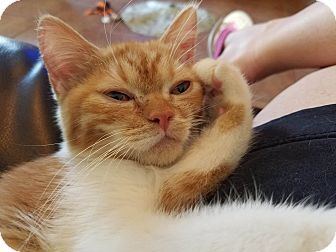 Exotic Kitten for adoption in Ennis, Texas - Odeena