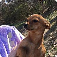 Adopt A Pet :: Gypsy - Windham, NH