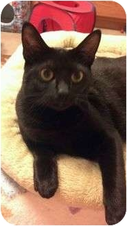 Bombay Cat for adoption in Moses Lake, Washington - Prancess