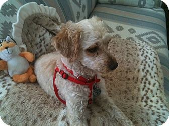 Poodle (Miniature) Mix Dog for adoption in Rancho Mirage, California - Angel