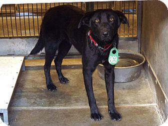 Labrador Retriever Mix Dog for adoption in San Diego, California - Jeanie URGENT