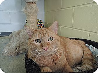 Domestic Shorthair Cat for adoption in House Springs, Missouri - Big Boy