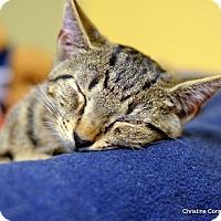 Adopt A Pet :: Saturn - Island Park, NY