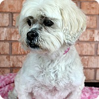 Adopt A Pet :: Gabby-Adoption pending - Bridgeton, MO