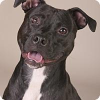 Adopt A Pet :: Bridgette - Chicago, IL