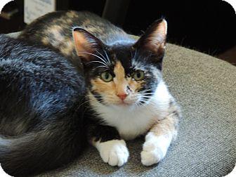 Calico Kitten for adoption in San Jose, California - Zoey
