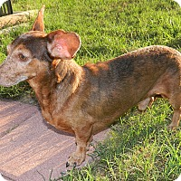 Dachshund Mix Dog for adoption in Umatilla, Florida - Taco