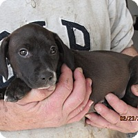 Adopt A Pet :: Taylor - Germantown, MD