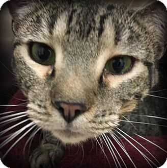 Domestic Shorthair Cat for adoption in St. Louis, Missouri - Spencer