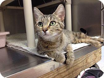Domestic Shorthair Cat for adoption in Triadelphia, West Virginia - T-6