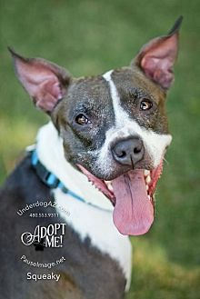 Italian Greyhound/Boston Terrier Mix Dog for adoption in Chandler, Arizona - SQUEAKY