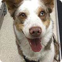Adopt A Pet :: Roxy - Grants Pass, OR