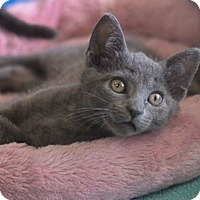 Adopt A Pet :: Smokey - Reston, VA