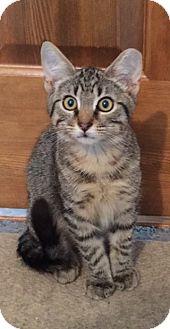 Domestic Shorthair Kitten for adoption in Colorado Springs, Colorado - Richmond