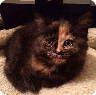 Domestic Shorthair Kitten for adoption in THORNHILL, Ontario - Nova