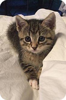 Domestic Shorthair Kitten for adoption in Miami, Florida - Storm the Kitten