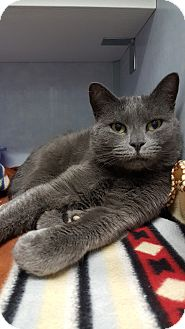 Russian Blue Cat for adoption in Cody, Wyoming - Mouse