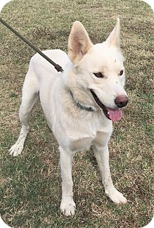German Shepherd Dog Dog for adoption in Brattleboro, Vermont - Leggo ~ DOB 11/2014!