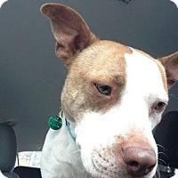 Terrier (Unknown Type, Medium)/Terrier (Unknown Type, Medium) Mix Dog for adoption in Fulton, Missouri - Braven- Ohio