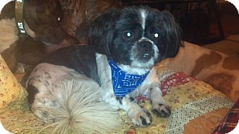 Shih Tzu Dog for adoption in Hazard, Kentucky - Aldo