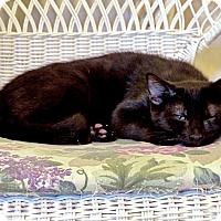 Adopt A Pet :: Bandit - Victor, NY
