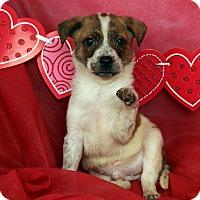 Adopt A Pet :: Barry Little - St. Louis, MO