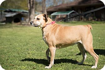 Boxer/Labrador Retriever Mix Dog for adoption in Daleville, Alabama - Sassy