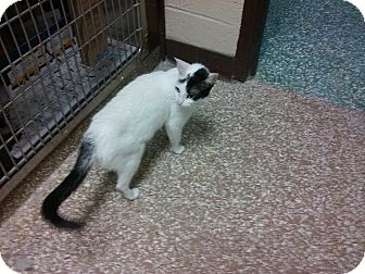 Domestic Shorthair Cat for adoption in Mine Hill, New Jersey - Teresa