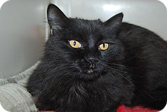 Domestic Longhair Cat for adoption in Ridgway, Colorado - Pansie