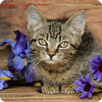 Domestic Shorthair Kitten for adoption in Front Royal, Virginia - Wallaby