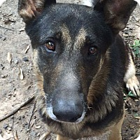 German Shepherd Dog Mix Dog for adoption in Nashua, New Hampshire - Delgado