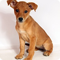 Adopt A Pet :: Mallory Lab Mix - St. Louis, MO