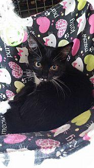 Domestic Shorthair Kitten for adoption in Middletown, New York - Falcon