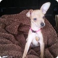 Chihuahua Mix Puppy for adoption in Richardson, Texas - Sofi