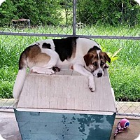 St. Bernard/Karelian Bear Dog Mix Dog for adoption in Jefferson, Texas - Baily