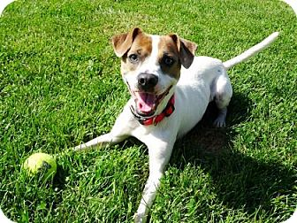 Jack Russell Terrier Mix Dog for adoption in Belleville, Michigan - Rico