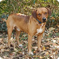 Shepherd (Unknown Type) Mix Dog for adoption in Portland, Maine - RED SCOUT