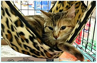 Calico Cat for adoption in Lancaster, California - Charity