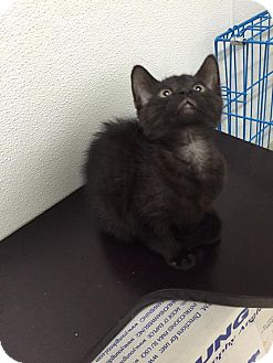 Domestic Shorthair Kitten for adoption in Bryan, Ohio - Crowley