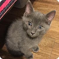 Russian Blue Kitten for adoption in Columbus, Ohio - Slate