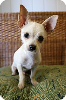 Chihuahua Mix Puppy for adoption in Hagerstown, Maryland - Eli