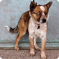 Adopt A Pet :: Crystal - Albuquerque, NM