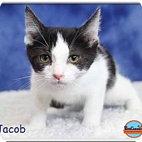 Adopt A Pet :: Jacob - South Bend, IN